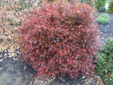 Acer palmatum 'Kuro hime' Princess Japanese Maple