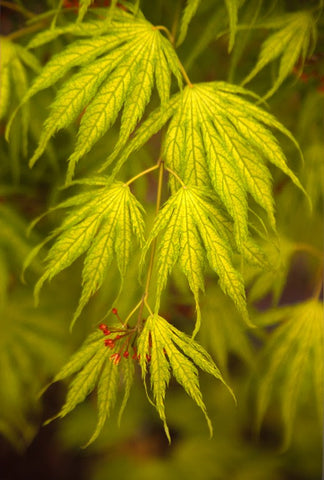 Acer palmatum 'Miwa' Variegated Japanese Maple