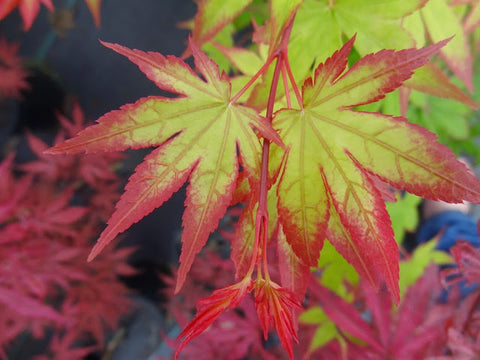 Acer palmatum 'Ogi tsuma gaki' Purple Border Japanese Maple