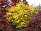 Acer palmatum 'Peaches and Cream' Japanese Maple