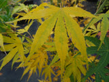 Acer palmatum 'Peridot Flame' Japanese Maple