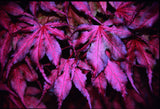 Acer palmatum 'Purple Ghost' Japanese Maple