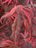 Acer palmatum 'Rainbow' Pink Variegated Red Japanese Maple
