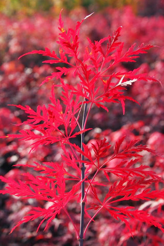 Acer palmatum 'Red Dragon' Dwarf Japanese Maple