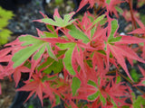 Acer palmatum 'Shojo no mai' Variegated Japanese Maple