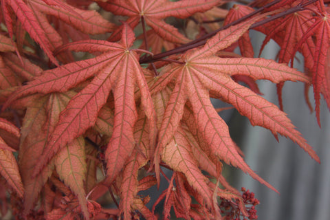 Acer palmatum 'Uncle Ghost' Japanese Maple