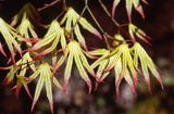 Acer palmatum 'White Peaches' Japanese Maple