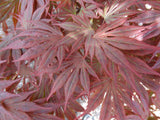 Acer shirasawanum 'Mikado' Japanese Maple