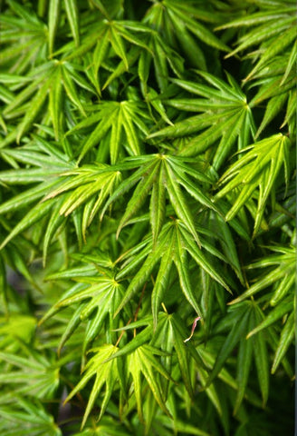 Acer shirasawanum 'Mr. Sun' Dwarf Full Moon Japanese Maple