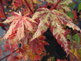 Acer sieboldianum 'Kumoi nishiki' Variegated Full Moon Japanese Maple