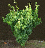 Acer carpinifolium 'Esveld Select' Dwarf Japanese Hornbeam Maple Tree