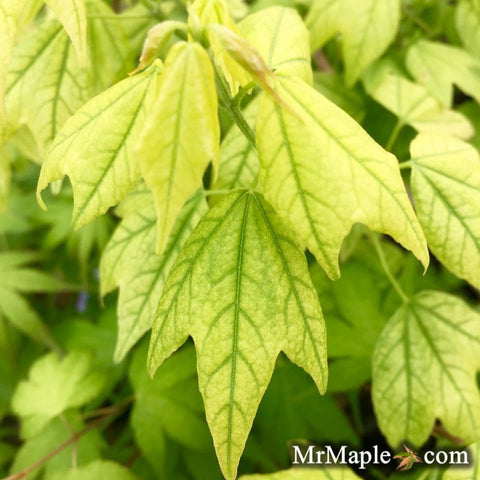 Acer buergerianum 'Golden Pharoah' Trident Maple