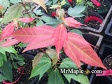 Acer calcaratum Rare Chinese Maple