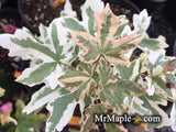 Acer campestre 'Carnival' White Variegated Maple