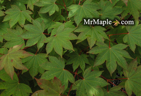 Acer circinatum x palmatum 'Morton' Japanese Maple