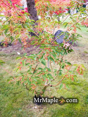 Acer davidii 'Serpentine' Snakebark Japanese Maple
