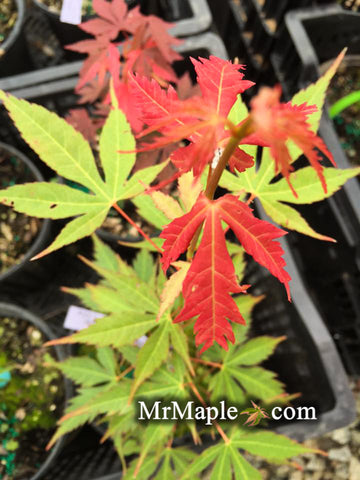 Acer elegantum x palmatum 'Johnnie's Giant' Japanese Maple