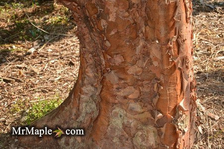 Buy Acer griseum Paperbark Maple