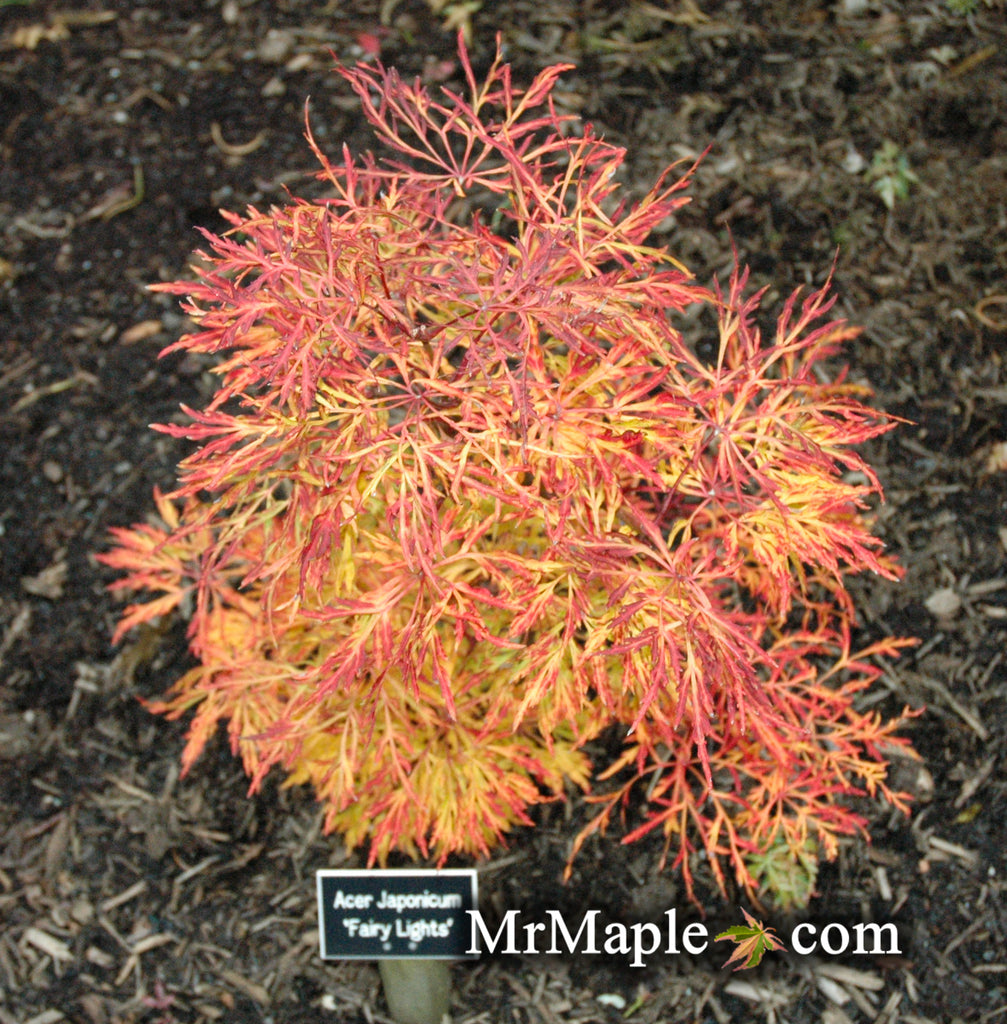 Buy Acer Japonicum Fairy Lights Dwarf Full Moon Japanese