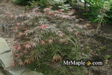 Acer palmatum 'Jeddeloh Orange' Weeping Japanese Maple