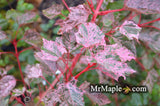 Acer rubescens 'Red Flamingo' Snakebark Maple