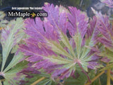 Buy Acer japonicum Mai kujaku Dancing Peacock Japanese Maple