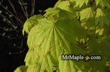 Acer japonicum 'Vitifolium' Large Leaf Full Moon Japanese Maple