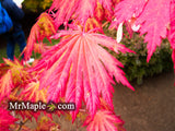 Acer japonicum 'Yama kage' Mountain Shadows Full Moon Japanese Maple