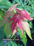 Acer oliverianum ssp formosanum  - Ultimate Heat Tolerant Maple