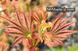 Acer palmatum 'Abigail Rose' Dwarf Variegated Japanese Maple