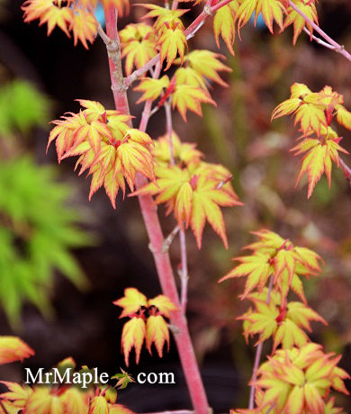 Products Tagged Acer Palmatum Mr Maple Buy Japanese Maple Trees