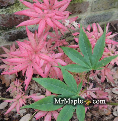 Acer palmatum 'Aksel' Japanese Maple
