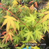Acer palmatum 'Allen's Gold' Pinebark Japanese Maple