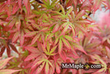 Acer palmatum 'Alpine Sunrise' Dwarf Red Japanese Maple