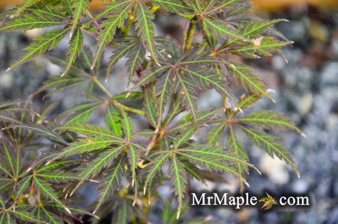 Acer palmatum 'Amazing Fantasy #15' Japanese Maple