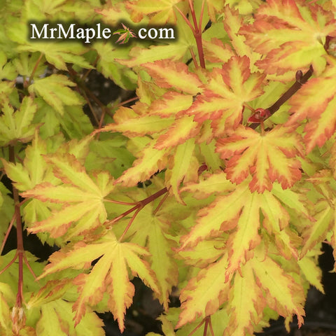 Acer palmatum 'Anne-Irene' Japanese Maple