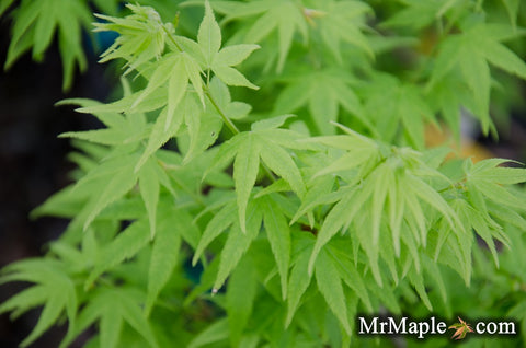 Acer palmatum 'Aoyagi' Green Bark Japanese Maple