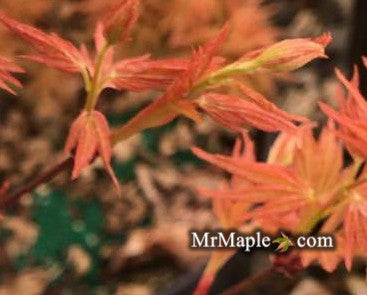 Acer palmatum 'Barbara' Japanese Maple