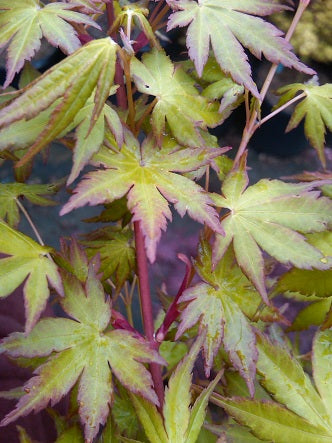 Acer palmatum 'Baton Rouge' Coral Bark Japanese Maple