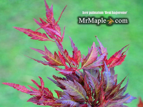 Acer palmatum 'Beni hagoromo' Japanese Maple