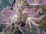 Acer palmatum 'Beni shi en' Purple Smoke Japanese Maple