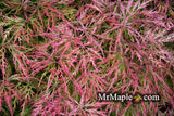 Acer palmatum 'Chantilly Lace' Japanese Maple