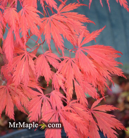 Acer palmatum 'Crimson Carole' Japanese Maple