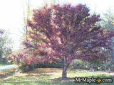 Acer palmatum 'Dolly Hill' Red Japanese Maple