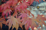 Acer palmatum 'Duncan and Davies' Japanese Maple