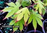 Acer palmatum 'Emerald Sunset' Japanese Maple