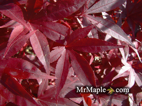 Acer palmatum 'Emperor 1' Japanese Maple Tree