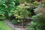 Acer palmatum 'Frilly Willy' Japanese Maple