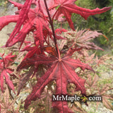 Acer palmatum 'Frosted Purple' Japanese Maple