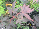 Acer palmatum 'Fujinami' Deep Black Japanese Maple